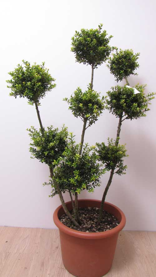 ilex crenata kinme mit pompons stechpalme bonsai gartenbonsai ebay. Black Bedroom Furniture Sets. Home Design Ideas